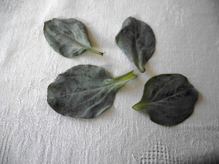 mertensia huitre vegetale